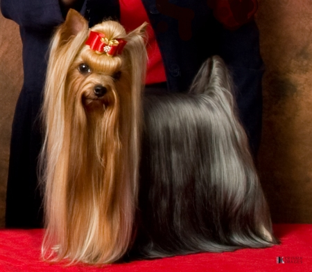 Yorkshire Terriers Ms Lewis Infers